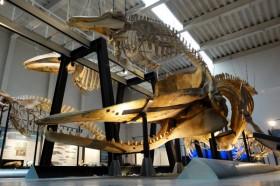 博物館鯨類骨格標本